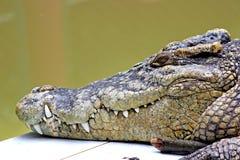 Fim da cabeça do crocodilo acima Fotos de Stock Royalty Free