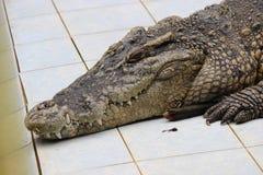Fim da cabeça do crocodilo acima Imagem de Stock