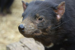Fim da cabeça do diabo tasmaniano acima Fotos de Stock