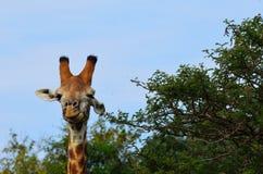 Fim da cabeça do girafa que olha acima Imagens de Stock