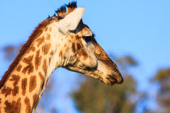 Fim da cabeça do Giraffe acima imagens de stock royalty free
