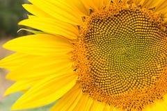 Fim da cabeça do girassol acima, parte da flor Fotos de Stock Royalty Free