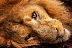 Fim da cabeça do leão acima Foto de Stock
