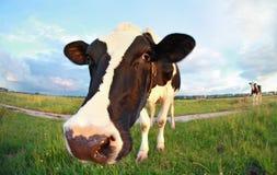Fim da cabeça do ` s da vaca acima Imagem de Stock