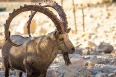 Fim da cabra de montanha acima, chifre grande Os chifres principais grandes No perfil fotografia de stock