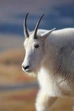 Fim da cabra de montanha acima na região selvagem Fotografia de Stock Royalty Free