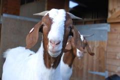 Fim da cabra do Boer acima Foto de Stock Royalty Free