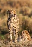 Fim da chita acima de ( Acinonyx jubatus) , Masai Mara Reserve, Kenya fotografia de stock