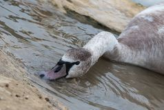 Fim da cisne acima de Malta foto de stock royalty free