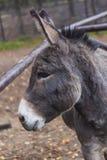 Fim da cor do marrom do animal de exploração agrícola do asno acima do animal de estimação bonito foto de stock royalty free