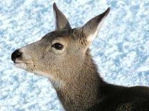 Fim da fêmea dos cervos de mula acima foto de stock