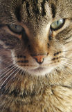 Fim da face do gato acima Imagens de Stock Royalty Free