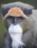 Fim da face do macaco de guenon de Debrazzas acima fotografia de stock