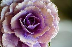 Fim da flor da couve acima de e detalhes da gota da água fotografia de stock royalty free