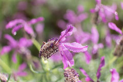 Fim da flor da alfazema acima Fotografia de Stock