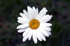 Fim da flor da camomila acima Imagem de Stock