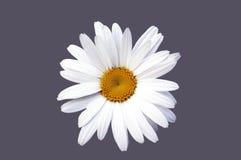 Fim da flor da camomila acima Fotos de Stock Royalty Free