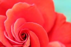 Fim da flor da rosa do vermelho acima Foto de Stock