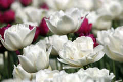 Fim da flor da tulipa acima Foto de Stock