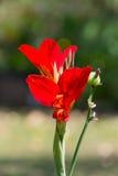 Fim da flor de Canna acima Imagens de Stock