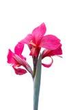Fim da flor de Canna acima Foto de Stock