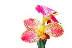Fim da flor de Canna acima Imagem de Stock Royalty Free