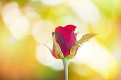 Fim da flor de Rosa acima das rosas vermelhas bonitas no dia de Valentim do fundo do borrão da natureza e no conceito do amor fotografia de stock
