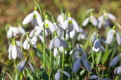 Fim da flor de Snowdrop acima do fundo macro Galanthus Rivalis Fi foto de stock royalty free