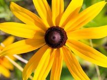 Fim da flor de Susan de olhos pretos acima Rudbekia imagens de stock royalty free