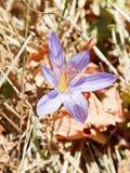 Fim da flor do autumnale do Colchicum acima Fotos de Stock