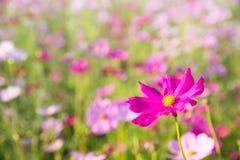 Fim da flor do cosmos acima no fundo do por do sol com seletivo macio Foto de Stock