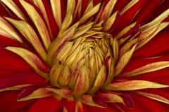 Fim da flor do crisântemo acima, fundo abstrato Imagens de Stock Royalty Free