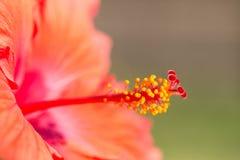 Fim da flor do hibiscus acima Imagem de Stock Royalty Free