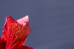 Fim da flor do hibiscus acima com gotas de água Imagens de Stock Royalty Free