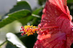 Fim da flor do hibiscus acima com gotas de água Foto de Stock