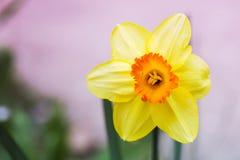Fim da flor do narciso acima do tempo de mola da vista imagens de stock