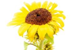 fim da flor do sol acima imagem de stock royalty free