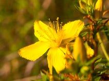 Fim da flor selvagem do amarelo do wort do ` s de St John acima da parte externa fotografia de stock