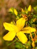 Fim da flor selvagem do amarelo do wort do ` s de St John acima da parte externa foto de stock