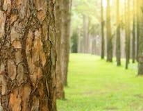 Fim da floresta do pinho acima da casca do pinho com dof raso Foto de Stock