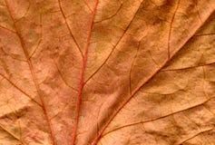 Fim da folha da hera de Brown acima do fundo. Foto de Stock