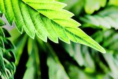 Fim da folha da marijuana acima imagens de stock