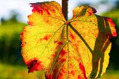 Fim da folha da videira dos vinhedos acima Imagens de Stock