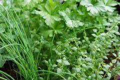 Fim da mistura da erva acima do cebolinha da hortelã Imagem de Stock Royalty Free
