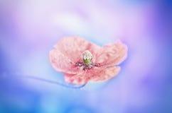 Fim da mola do casamento cor-de-rosa vermelho vívido do vintage único acima da papoila da flor com fundo multicolorido agradável  Fotos de Stock Royalty Free