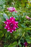 Fim da natureza do verão acima - da foto vertical do crescimento de flor brilhante da dália no jardim, com folhas verdes imagens de stock royalty free