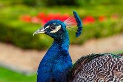 Fim da opinião do perfil do pavão acima do fundo do jardim da imagem Foto de Stock