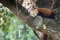 Fim da panda vermelha acima do retrato Fotografia de Stock Royalty Free
