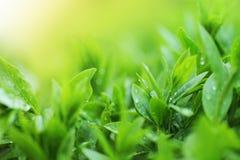 Fim da plantação de chá acima do fundo Fotos de Stock