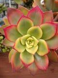 Fim da planta de Kiwi Succulent do Aeonium acima nas folhas cerosos verdes orlaradas vermelhas da planta da geometria imagens de stock royalty free